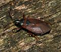 Gastrodes grossipes (Pine-cone Bug) - Flickr - S. Rae.jpg