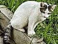 Gato Doméstico de Venezuela.jpg