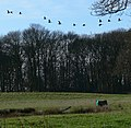 Geese in flight - geograph.org.uk - 657814.jpg
