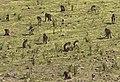 Gelada Baboons, Simien Mountains, Ethiopia (2457852901).jpg