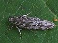 Gelechia nigra - Black groundling (40862103132).jpg
