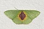 Geometrid moth (Nemoria astraea).jpg