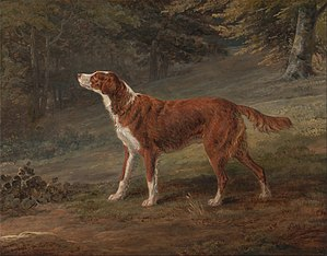 Irish Setter - The Irish Setter, in the beginning, was not identical to the breed today. The solid red colouring came about by selective breeding practices. Ranger, a red Setter, the property of  Elizabeth Gray in 1797