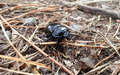 Geotrupidae, earth-boring dung beetles..png