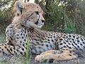 Gepard Südafrika.jpg
