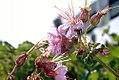 Geranium maculatum 8zz.jpg