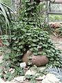 Gerrardanthus lobatus - Palmengarten Frankfurt - DSC01674.JPG