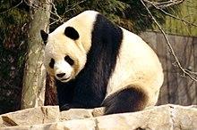 Tian Tian, no National Zoo, Washington DC