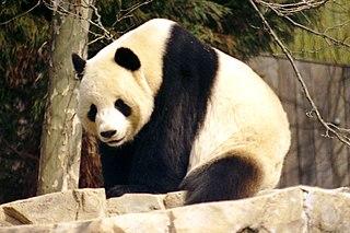 Tian Tian (male giant panda) male giant panda