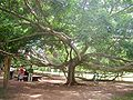 Giant tree1.jpg