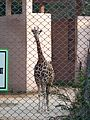 Giraffe In Lucknow Zoo.jpg
