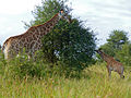Giraffes (Giraffa camelopardalis) female and calf (14027422871).jpg