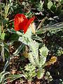 Glaucium corniculatum ssp. Habitus 2011-3-31 CampodeCalatrava.jpg