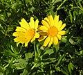 Glebionis segetum inflorescence (15).jpg