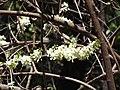 Gliricidia sepium var.alba-3-peliyur-yercaud-salem-India.jpg