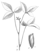 Glycine max Taub131a.png