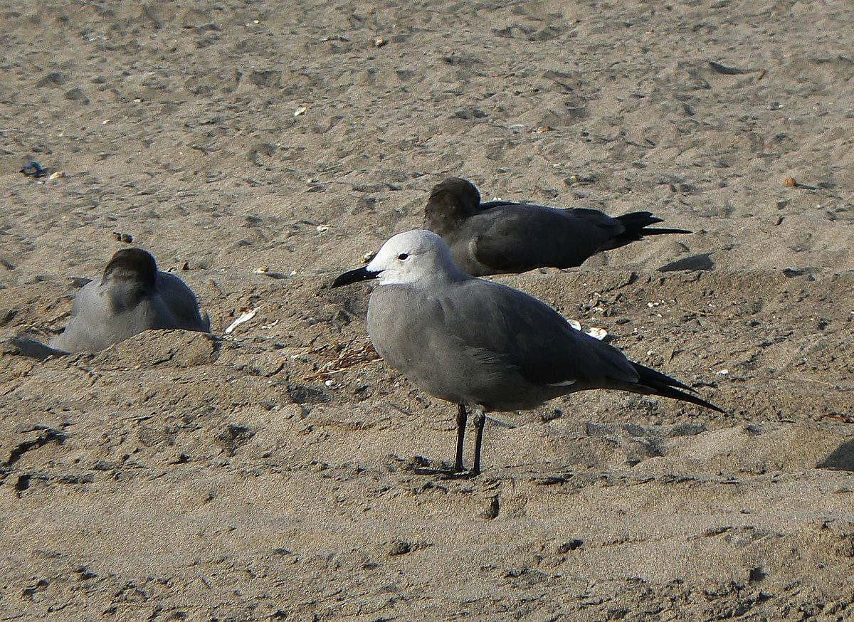 Grey gull - Wikipedia