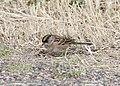 Golden-crowned Sparrow, Grays Harbor NWR, WA, 18 October 2012 (8115009291).jpg