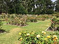 Golden Gate Park Rose Garden 9 2016-06-29.jpg