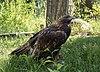 Golden eagle at ACES (11828).jpg