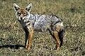 Golden wolf sa02.jpg