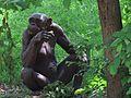Gorila at mysore zoo India.jpg