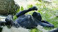 Gorila occidental (Gorilla gorilla), Tierpark Hellabrunn, Múnich, Alemania, 2012-06-17, DD 02.JPG