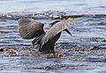 Grünreiher jagt im Roten Meer....IMG 1068WI.jpg