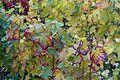 Grape vine @ Parc Georges Brassens @ Paris (30757018966).jpg