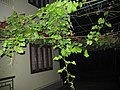 Grapes Plant, മുന്തിരിങ്ങ ചെടി, മുന്തിരി ചെടി.JPG