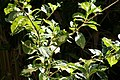 Graptophyllum pictum 12zz.jpg