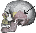 Gray188 - Squamosal suture.PNG