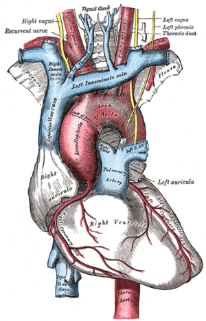 Recurrent laryngeal nerve - Passing under the subclavian artery, the right recurrent laryngeal nerve has a much shorter course than the left which passes under the aortic arch and ligamentum arteriosum.