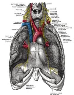 Pericardiacophrenic artery
