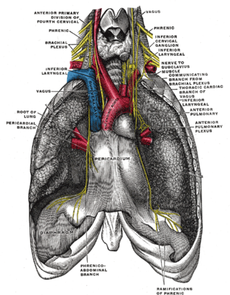 Phrenic nerve - The phrenic nerve and its relations with the vagus nerve. (Phrenic labeled at upper left and right.)