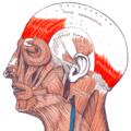 Gray — musculus epicranius.png