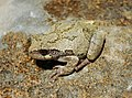Gray Tree Frog (Hyla versicolor) (8716723960).jpg