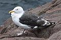 Great Black-backed Gull (Larus marinus) - St. John's, Newfoundland 2019-08-22 (01).jpg