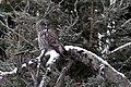 Great Gray Owl (31997952366).jpg