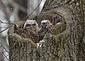 Great Horned Owl with two toddlers getting 'curiouser and curiouser' (32994923162).jpg