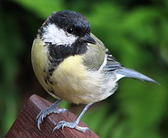 Great tit - In females and juveniles the mid-line stripe is narrower and sometimes discontinuous