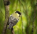 Great tit (27667819606).jpg