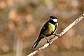 Great tit (Parus major) male.jpg