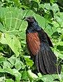Greater Coucal, Mangaluru, India (2124107513).jpg