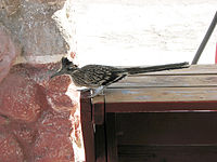 Greater Roadrunner (Geococcyx californianus) 2.jpg