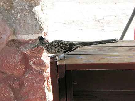 Greater roadrunners often become habituated to the presence of people. Greater Roadrunner (Geococcyx californianus) 2.jpg