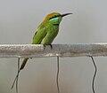 Green Bee-eater (Merops orientalis) in Hyderabad W IMG 5558.jpg