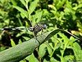 Green Marsh Hawk (Orthetrum sabina) (20549606189).jpg