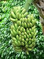 Green bananas tree.jpg