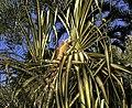 Green iguana (24652186185).jpg